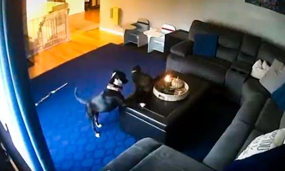 Beim Spiel mit ihrem Hundekumpel passierte es! Die Katze kam der Kerze zu nah...