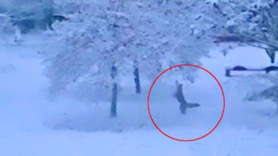 Fuchs schnappt sich Früchte vom Baum