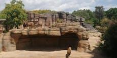 Vier Löwen in Zoo positiv auf Coronavirus getestet