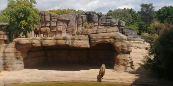 Blick in das Löwengehege vom Zoo in Barcelona
