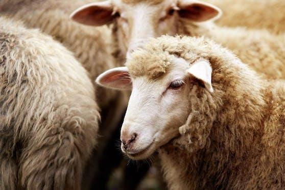 Ein 24-Jähriger aus Linz steht im Verdacht Schafen schlimme Qualen angetan zu haben. (Symbolbild).