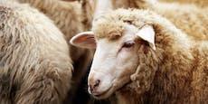 Mann ließ für Insta-Video Schaf von Hund töten