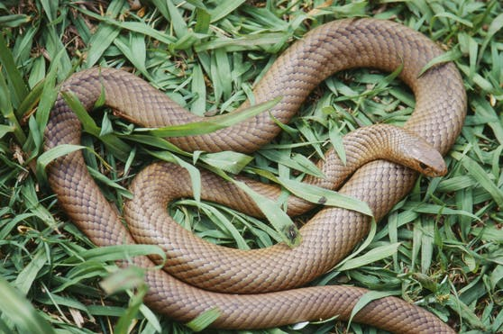 """Eigentlich macht die """"Braunschlange"""" einen recht harmlosen Eindruck, kann aber tödlich sein."""