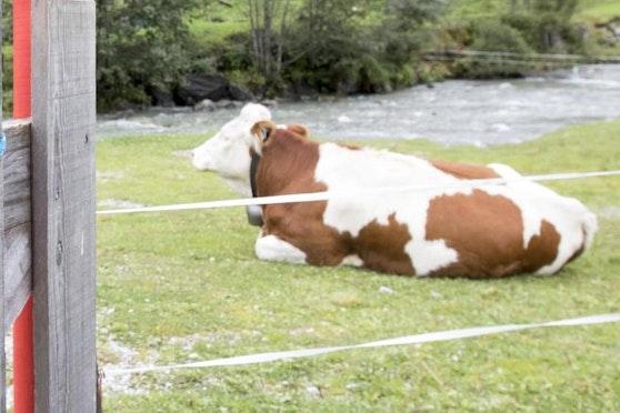 Weil ein Tier positiv auf Tuberkulose getestet wurde, musste ein Feldkircher Hof geschlossen werden.