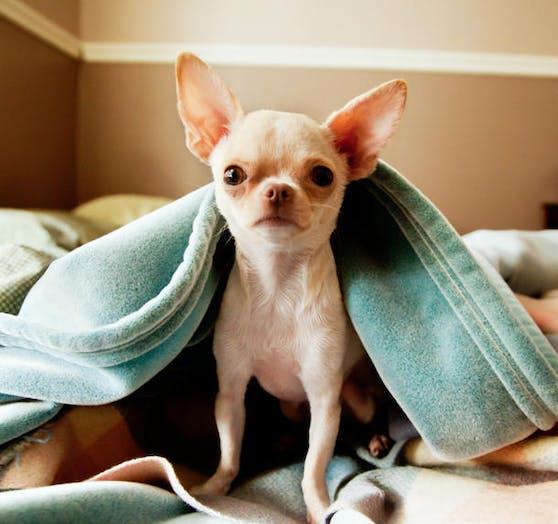 Ein Chihuahua wurde vermutlich mit Rattengift vergiftet.