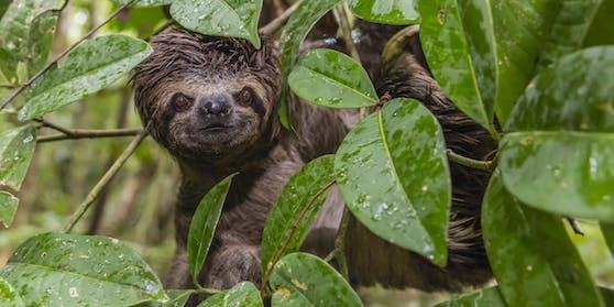 Ein Vorfahre desviel kleineres, modernen Dreifingerfaultier aus Costa Rica sorgt jetzt für Furore