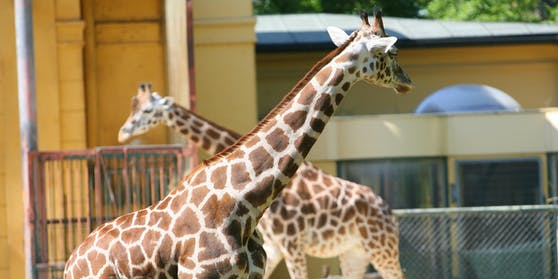 Die Giraffen im Tiergarten Schönbrunn.