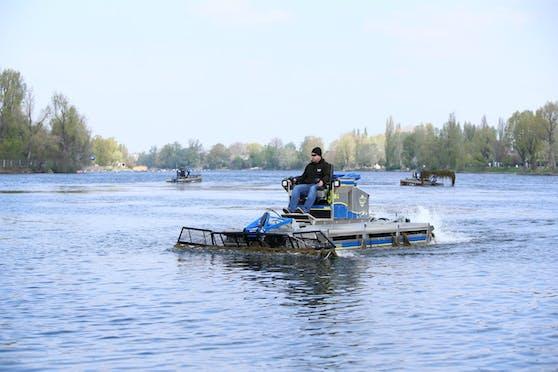 Ab heute sind die Mähboote der Stadt auf der Alten Donau im Einsatz.