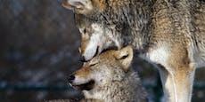 Vier Schafe tot – neues Wolfsrudel in Österreich?