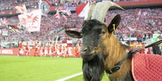 Köln-Geißbock darf wegen Corona nicht ins Stadion