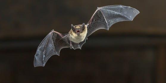 Neues Coronvirus in Fledermäusen gefunden