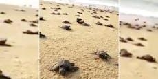 Millionen Baby-Schildkröten am Weg ins Meer