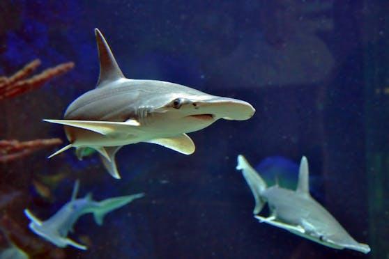 Hoffentlich können die Hammerhaie zu Weihnachten besucht werden.