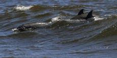1.000 Delfine vor Kalifornien gefilmt