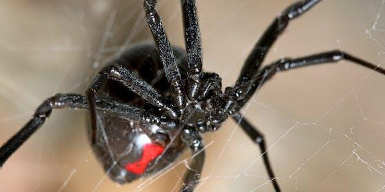 """Sie wollten wie """"Spiderman"""" sein:Drei kolumbianische Buben lassen sich von einer giftigen Schwarzen Witwe beißen."""