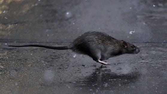 Bakterien aus Ratten-Urin hätten eine Frau beinahe das Leben gekostet. (Symbolbild)