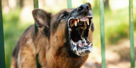 Ein Schäferhund biss einen 13-Jährigen in den Kopf. (Symbolbild)