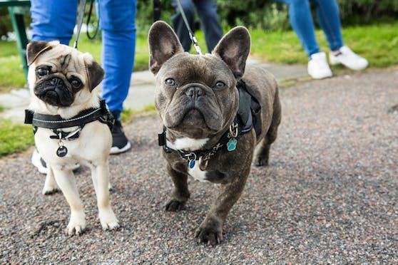 Ein Mops und eine französische Bulldogge. Symbolbild
