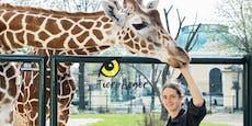 So werden die Giraffen in Schönbrunn gefüttert