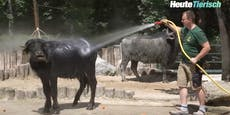 Wellness-Programm für Wasserbüffel im Zoo