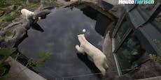 So überstehen Eisbären die Sommerhitze im Zoo