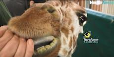Wie bekommt man eine Giraffe auf die Waage?