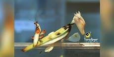 Diese Insekten sind das Gegenteil von romantisch