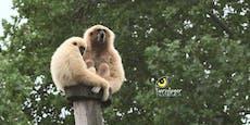 Die singende Affenbande aus Schönbrunn