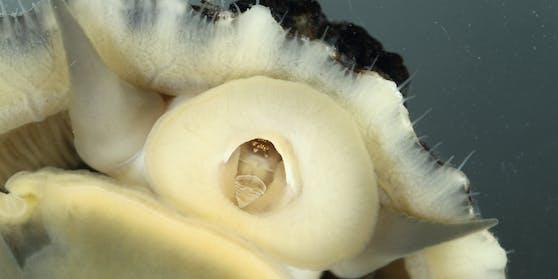 So sieht Patella vulgata unter ihrem schützenden Schneckenhaus aus