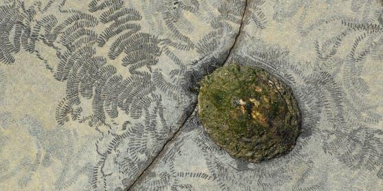 Fressspuren der Gemeinen Napfschnecke (Patella vulgata) auf einem Felsen in der Brandungszone einer Küste