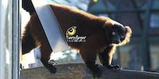 Lustige Lemuren-WG in Wiener Mini-Madagaskar