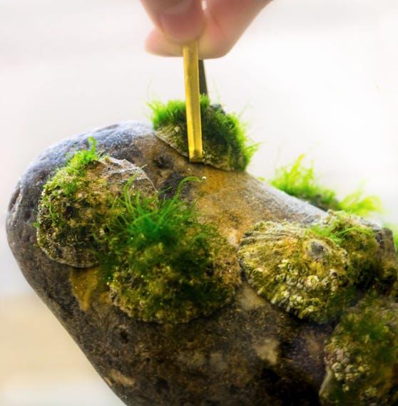 Forscher zeigen: Napfschnecken (Patella vulgata) haften so fest an Felsen, dass man diesen an ihnen hochheben kann.