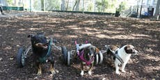 Karli flitzt mit Rollihund-Freunden durch den Wald