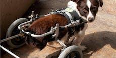 """Danke """"Heute""""! Hund Karli bekommt Rollstuhl"""