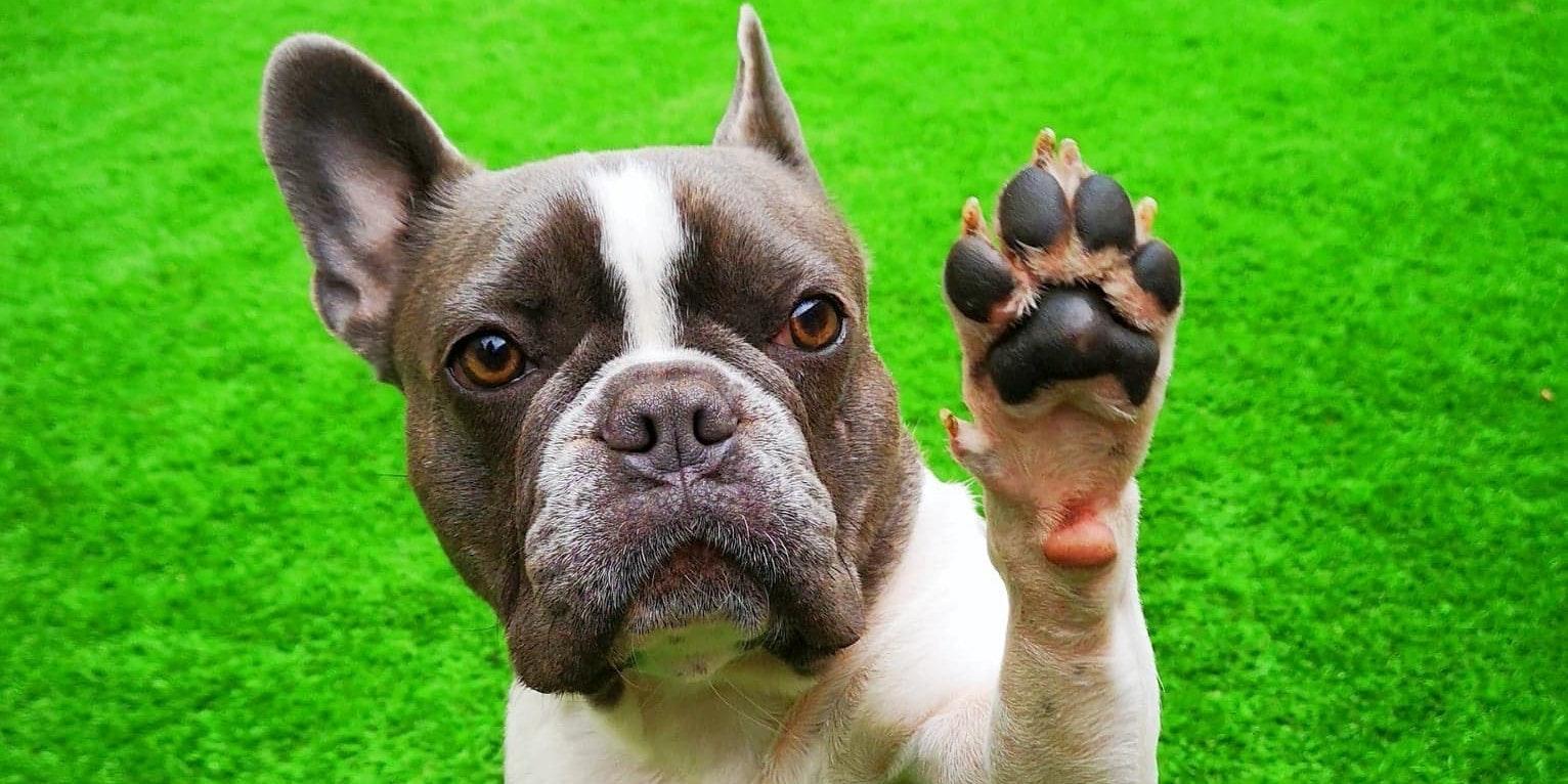 Ständig Pfote geben: Das will dein Hund dir damit sagen