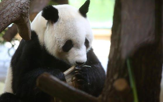 Yuan Yuan ist 19 Jahre alt und wiegt rund 104 Kilogramm.