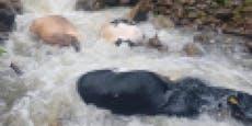 Herde in Panik! Trächtige Kühe stürzten sich in den Tod