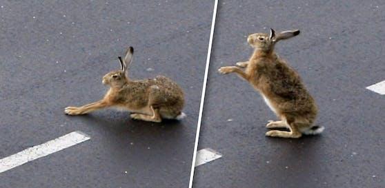 Hier macht ein Hase Gymnastik