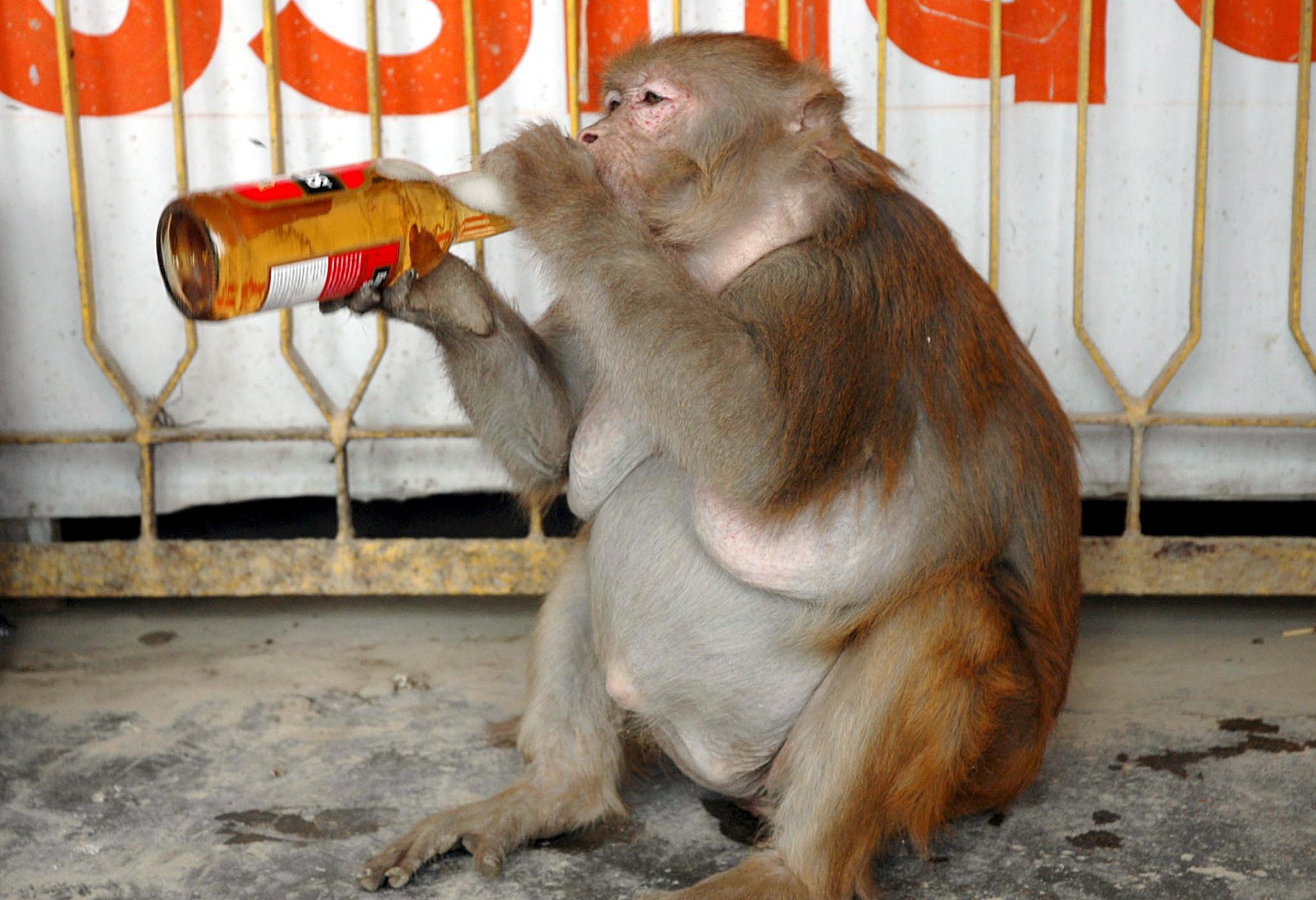Wegen Alkoholsucht: Affe muss lebenslang in Einzelhaft