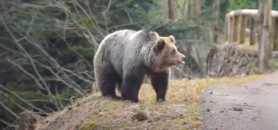 Bär-Attacke auf Wanderer in den Dolomiten