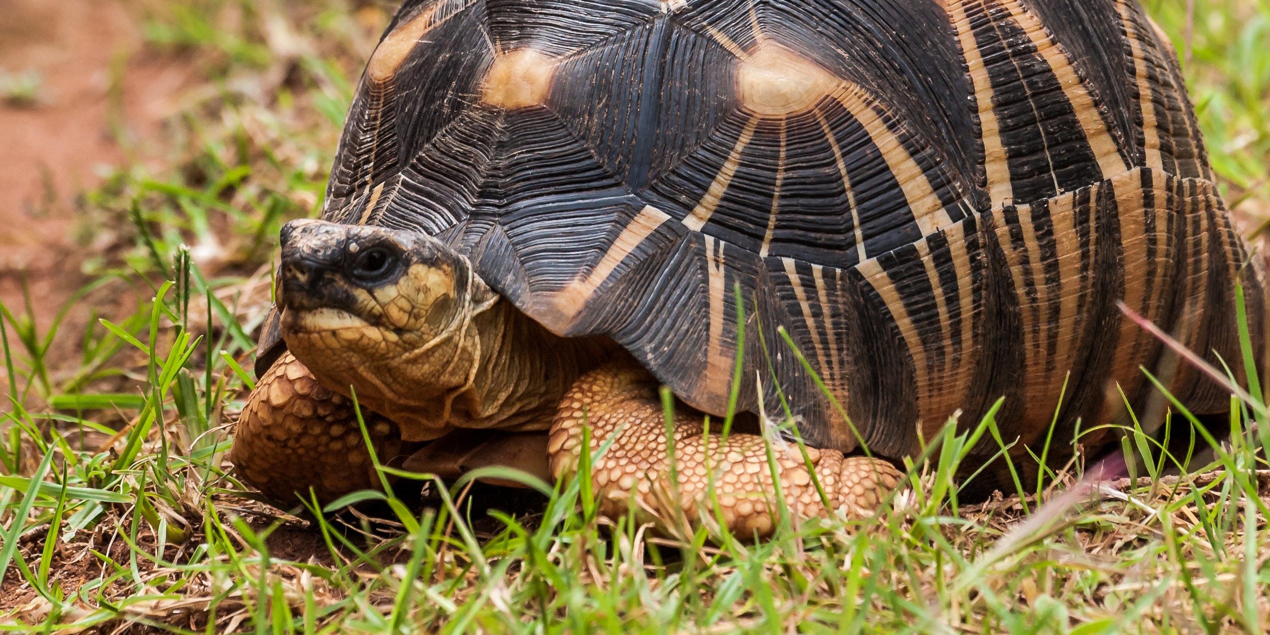 Über 180 Schildkröten-Arten stehen vor der Ausrottung