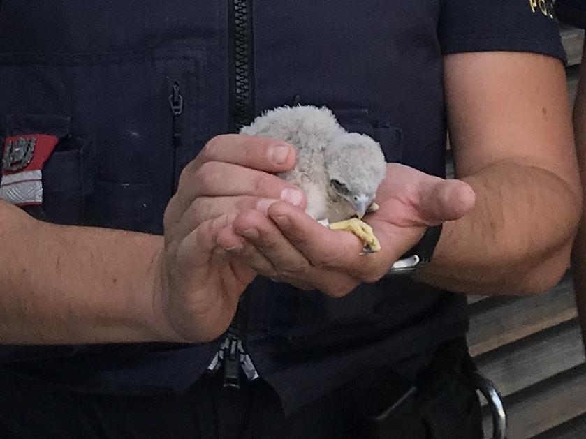 Polizisten fanden Turmfalken-Küken halb tot am Gehsteig
