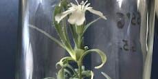 Forscher bringen 32.000 Jahre alte Blume zum Blühen