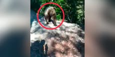 Braunbär verfolgt Südtiroler Wanderer auf Forstweg