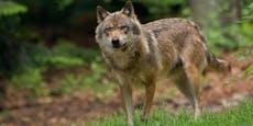 Tierschützer fechten geplante Wolfstötung an