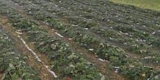 Hagel traf auch Landwirte: Zwei Millionen Euro Schaden