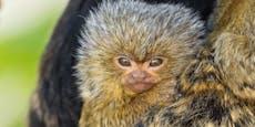 Süß! Nachwuchs bei kleinsten Affen der Welt