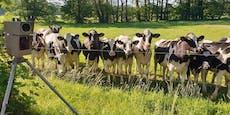 Glotzende Kühe machen Rasern schlechtes Gewissen