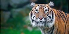 Lebenslänglich für indischen Tiger