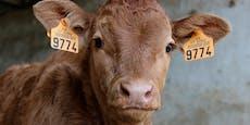 Heute ist Ehrentag der Kuh: Es gibt nichts zu feiern